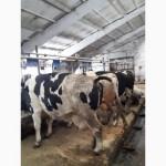 Нетели Племенные молочного направления продуктивностью до 8000кг/лактация