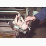 Кастрация хряков и поросят