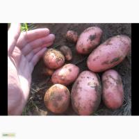Продам продовольственный картофель нового урожая, сорта Удача и Ред Скарлет