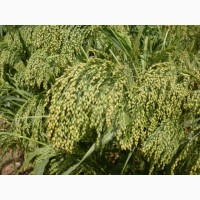 Просо семена на посев от элиты до 2 репр Саратовское желтое и Золотистое