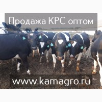 Продажа крупно рогатого скота/ полный пакет документов/ здоровый скот
