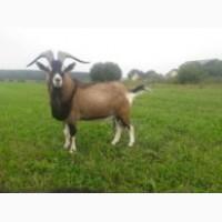 Продаю племенного альпийского козла