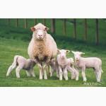 Закупаем овец на убой