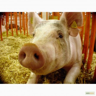 Продаем мясо свинины, субпродукты, полуфабрикаты