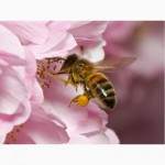 Пчелопакеты 2018 (карпатка)