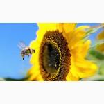 Семена гибридов подсолнечника НК Неома, Тристан, устойчивых к гербициду Евро-Лайтнинг