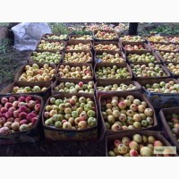 Продаю яблоки зимних сортов (Голден, Семеренко, Антоновка) в г Нижний Новгород
