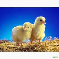 Цыплята Бройлера Кобб500 Чехия