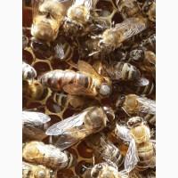Пчеломатки карпатской породы (племеные)