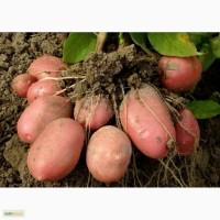 Продаем картофель разных сортов РОККО, РИВЬЕРА, ИМПАЛА, НЕВСКАЯ