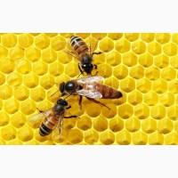 Пчеломатка Бакфаст и Карника