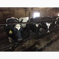 Коровы дойные черно-пестрые