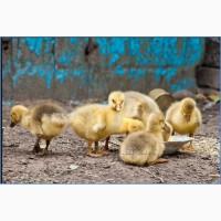 Гусята, муларды, утята, цыплята, куры с доставкой по области