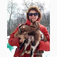 Продам 50% нубийских козлят (1, 5 месяца)