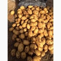Картофель от производителя оптом цена - 7 руб