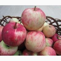 Продам Яблоки с яблони, фрукты