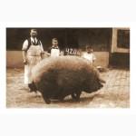 Продаются поросята породы Венгерской пуховой Мангалицы, 1,5 месяца.