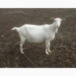 Продаются чистопородные зааненские козы