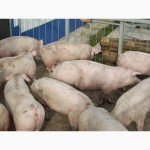 Свиньи от 90-120кг(оптом)