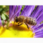 Пчелопакеты карпатка (4-х рамочные)