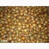 Продаем лук севок