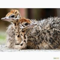 Птенцы страуса (страусята) - два месяца