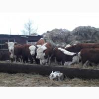 Герефорды, бычки