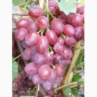 Посадочный материал (саженцы) винограда