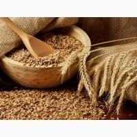 Семена озимой пшеницы и озимого ячменя урожая 2018 г