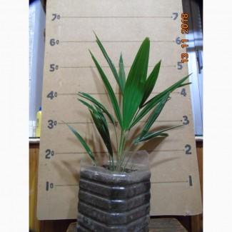 Пальмы: Хамеропс, Трахикарпус - саженцы