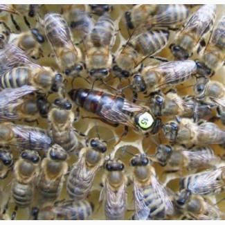 Пчелопакеты CARNICA 2019