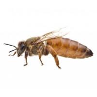 Пчеломатки кордован, бакфаст, карника
