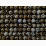 Продаю инкубационные перепелиные яйца, порода Эстонцы