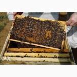Пчелопакеты карпатка в Тюмени