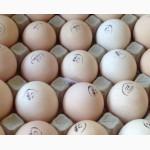 Продаю инкубационные яйца бройлеров Кобб 500 и Росс 308