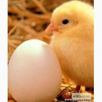 Продаём яйцо инкубацинное