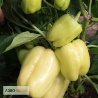 Семена сладкого перца Ведрана F1 (Энза Заден)