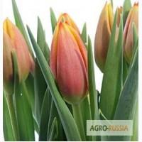 Луковицы тюльпанов оптом