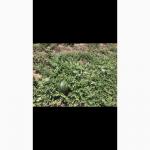 Продаем кубанский арбуз оптом от 10т
