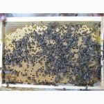 Пчелопакеты пчелы пчеломатки КАРПАТКА КАРНИКА