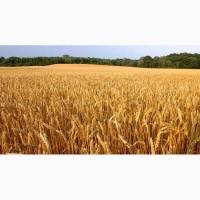 Семена озимой пшеницы Семена озимой пшеницы Виктория одесская, Скарбница