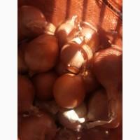 Лук репчатый (продуктовый) Лоредо