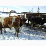 Коровы и телки на убой.На постоянной основе