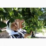 Вегетативные саженцы фундука Трапезунд в Краснодарском крае