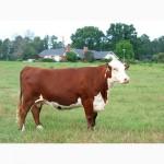 Реализуем мясо говядины, бычков, субпродукты, полуфабрикаты