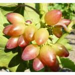 Саженцы и черенки винограда проверенные и устойчивые