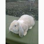Кролики породы Французский Баран и Серебристый