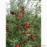 Реализуем летние и зимние сорта яблок