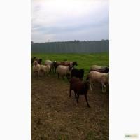 Продам овец романовской и эдильбаевской породы