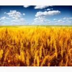 Предлагается к приобретению продовольственная пшеница 4 класса